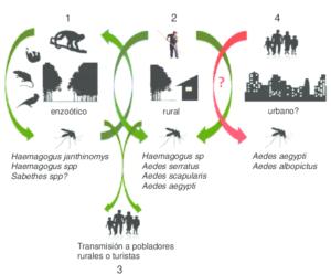figura-3-ciclo-de-transmision-del-virus-mayaro-basado-en-los-hallazgos-en-vectores-y
